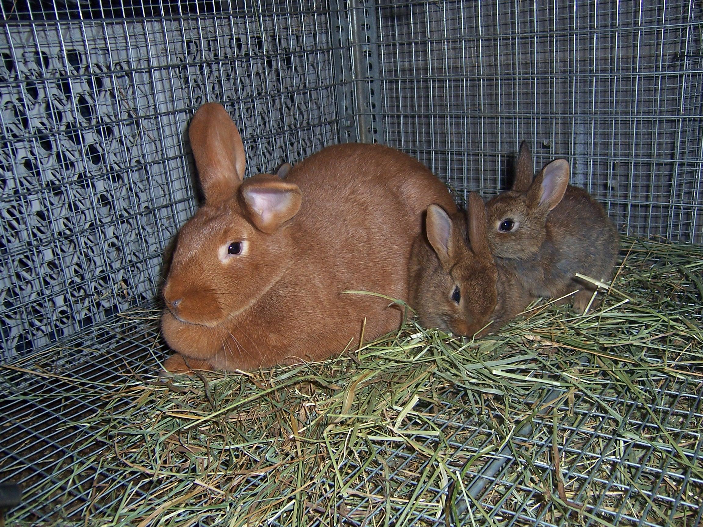 palomino rabbits - photo #23