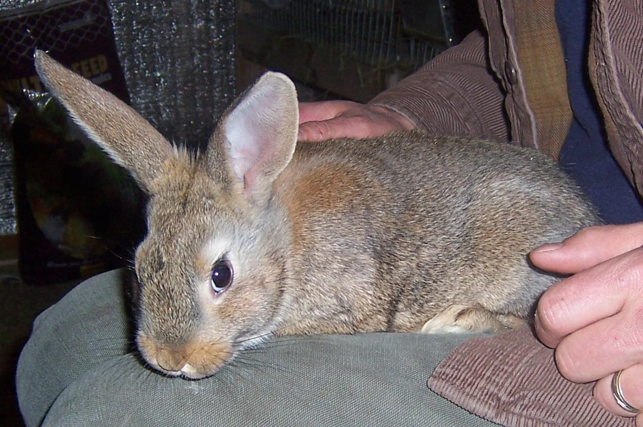 palomino rabbits - photo #21