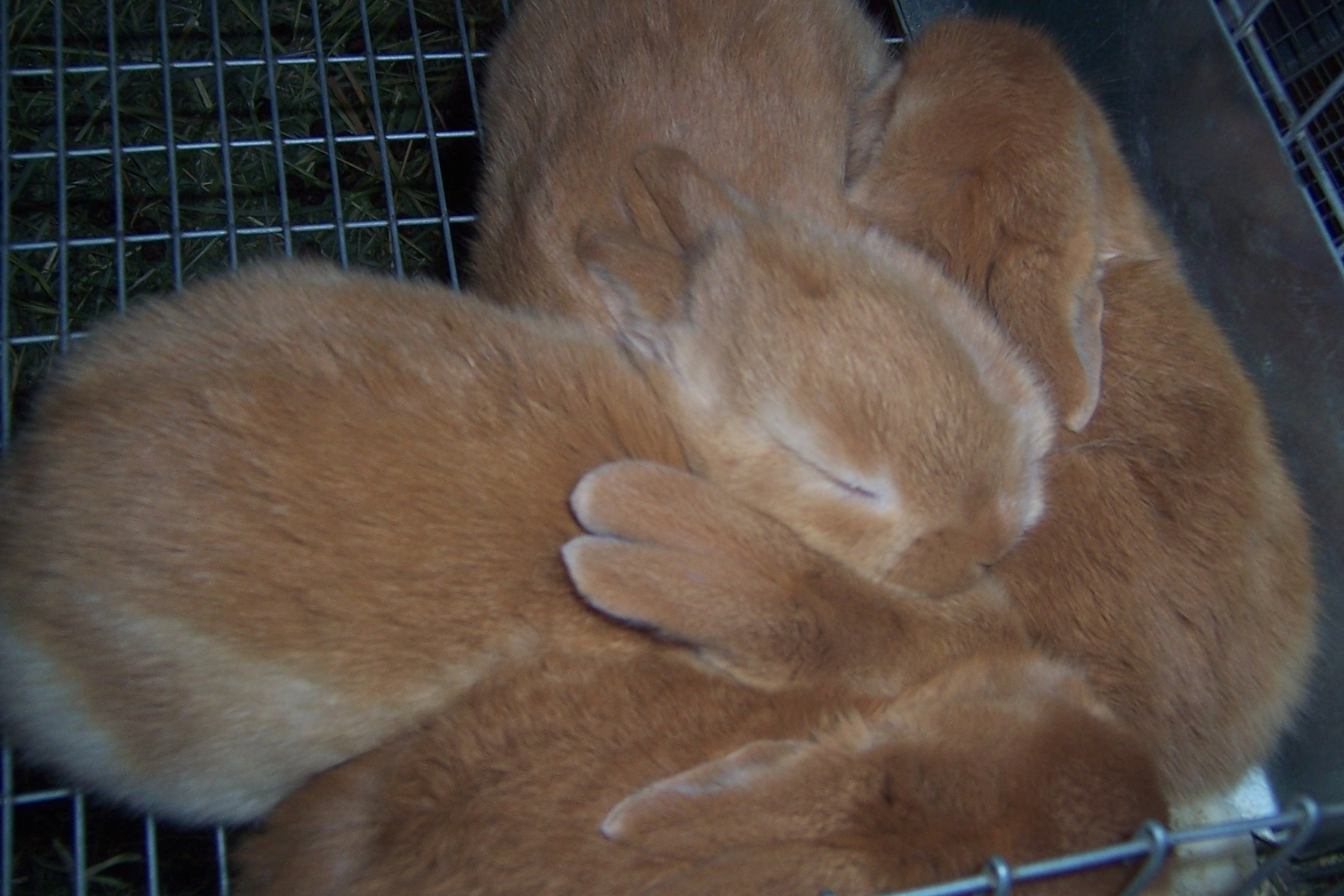 Getting Started with Meat Rabbits: Buying Breeding Stock – Willow ...