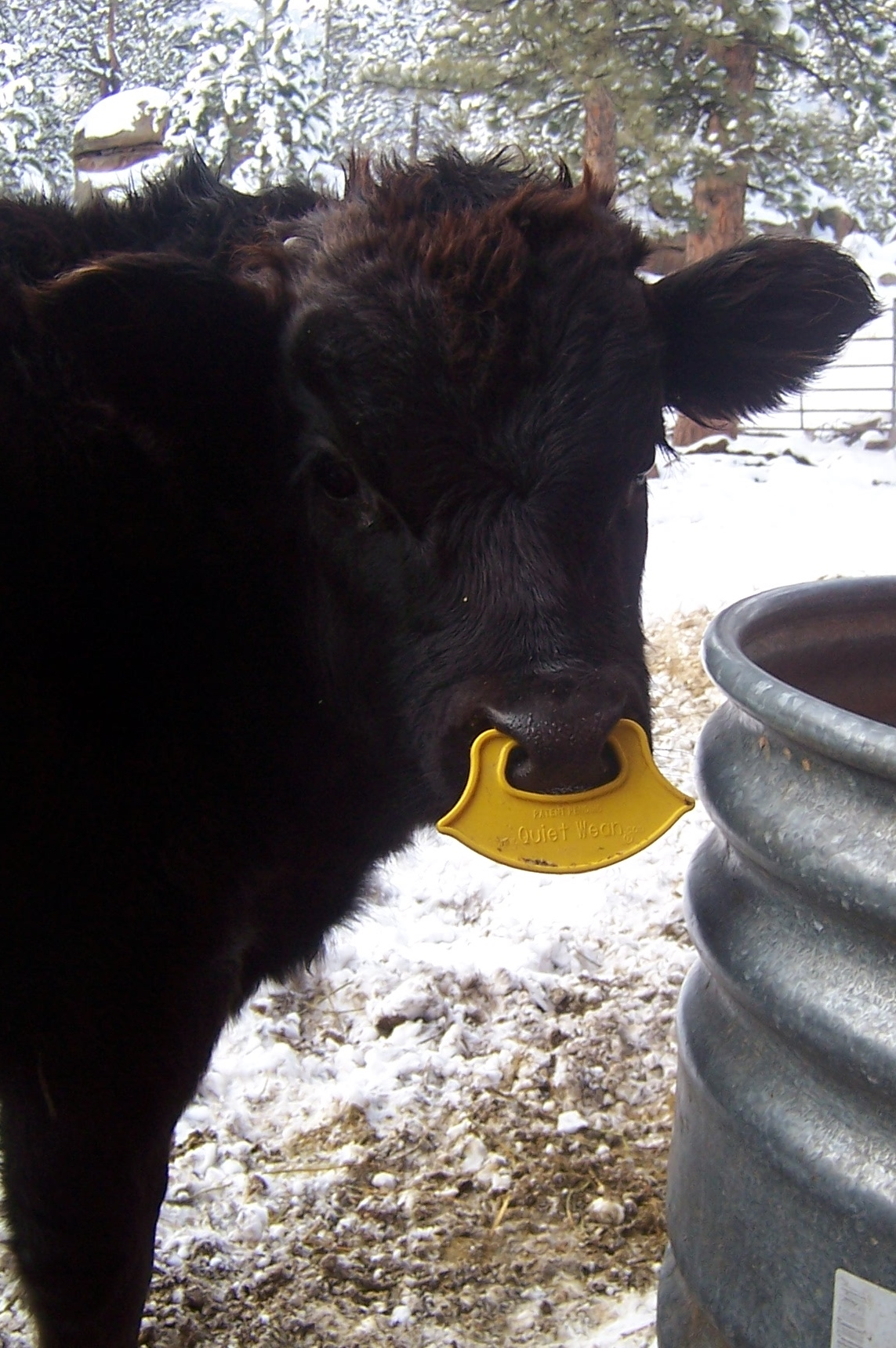 Using The Quiet Wean Calf Nose Ring To Wean Our Calf